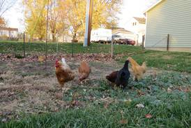 Princeton poultry owners have one month to register birds