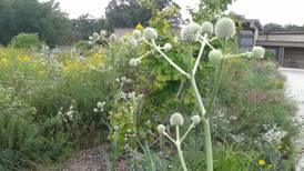 Good Natured in St. Charles: Rattlesnake master long rooted in history