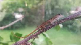 Good Natured in St. Charles: Anole lizards hitch ride to our foreign clime