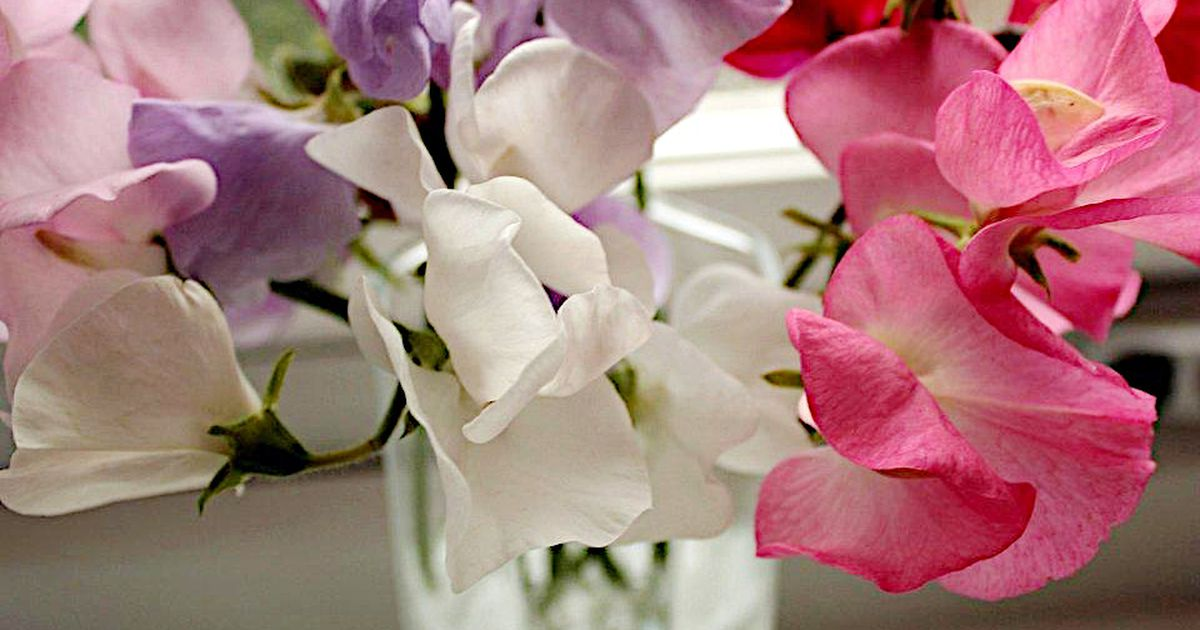 How Does Your Garden Grow? Sweet peas bring fragrance to your garden