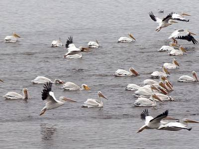 Photos: Have you seen the flocks of pelicans on Senachwine Lake?