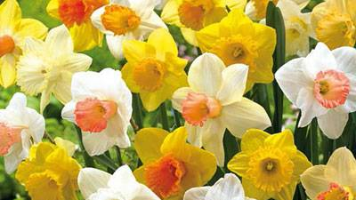 Volunteers needed to plant thousands of daffodil bulbs in St. Charles