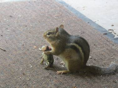 Good Natured in St. Charles: Chipmunk alter ego turns downright scary