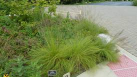 Good Natured in St. Charles: Prairie dropseed wafts popcorn fragrance