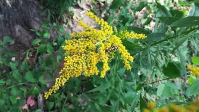Good Natured in St. Charles: Goldenrod mistakenly blamed for hay fever