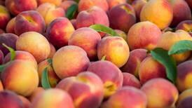 Just peachy: Georgia fruit headed to Batavia Moose Lodge, other stops