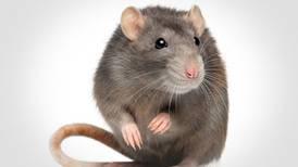 Rat abatement committee back in Berwyn